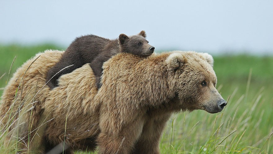 mother-bear-cubs-animal-parenting-21-57e3a2161d7f7__880
